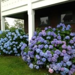 Hydrangeas in June