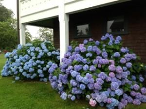 Hydrangeas in June